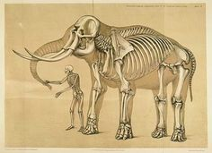 Anatomy Reference Vintage Elephant and Human Skeleton Illustration Poster - Shop Vintage Elephant and Human Skeleton Illustration Poster created by Alleycatshirts. Personalize it with photos Skeleton Drawings, Human Skeleton, Skeleton Art, Elephant Illustration, Science Illustration, Illustration Artists, Vintage Elephant, Elephant Love, Asian Elephant