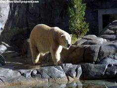 Lonely Polar Bear 1280X800 Photo