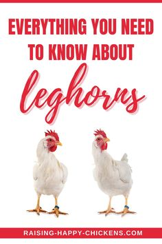 The Leghorn chicken breed survives well in both heat and cold and is one of the best layers around. But is this really the right chicken for your family? Originally from Italy, their authentic name is the 'Livornese' or 'Livorno' - the port from which this chicken breed was exported to the USA in the 1800s. But are they good little egg layers? Leghorn Chickens, Chicken Breeds, Chickens Backyard, Need To Know, Egg, Layers, Italy, Cold, Breeds Of Chickens