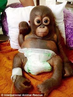 Budi was saved by British rescue charity International Animal Rescue