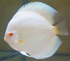 I am not normally big on white animals but this discus is very pretty and would look amazing in a school of colorful discus. Underwater Creatures, Ocean Creatures, Beautiful Fish, Animals Beautiful, Acara Disco, Rare Albino Animals, Unusual Animals, Discus Fish, Freshwater Aquarium Fish