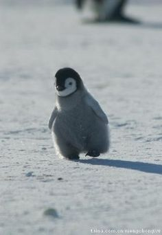 baby Penguin, auditioning for Happy Feet.  ha!I just asked if we could watch it!