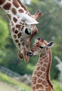 The nine-day-old giraffe Bine kisses another giraffe named Andrea on May 9, 2014 in Friedrichsfelde zoo in Berlin.