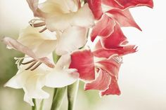 How to Grow Gladiolus Flowers