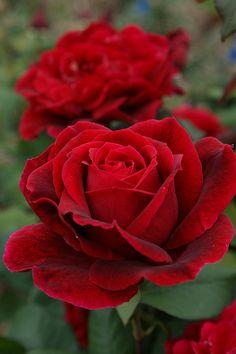 ~Hybrid Tea Rose: Rosa 'Mister Lincoln' (U.S., 1964)