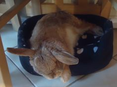 Tired Bunny Can Sleep through Falling Out of Bed