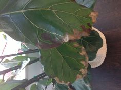 The very best advice on problems with Ficus Lyrata (fiddle leaf fig) Ficus Lyrata, Fiddle Leaf Fig Tree, Inside Plants, House Plant Care, Tree Care, Outdoor Plants, Growing Plants, Indoor Garden, Houseplants