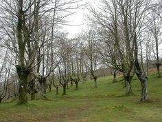 Pollard trees - Coppicing/Pollarding explained, harvest wood without killing the tree