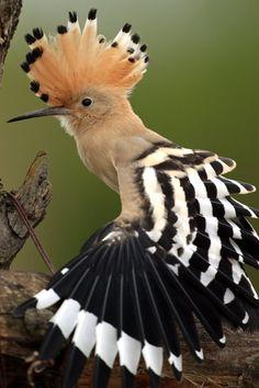 Hoopoe, State bird of Israel