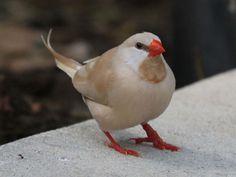 Finch, Long-tailed fawn BW2.jpg (1024×768)