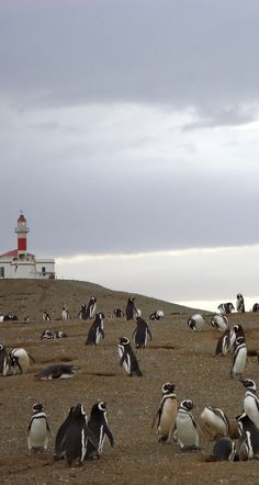 Penguins on Isla Magdalena, Punta Arenas, Chile