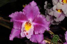 Odontoglossum crispum hybrid | by Nurelias