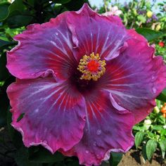Hibiscus 'Me-Oh-My-Oh'