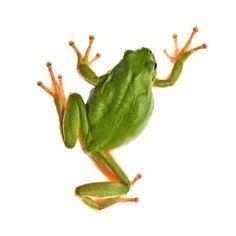 kambo frog (gör inverterad för plats för kambo)