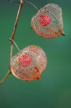Chinese Lanterns Seed Pods