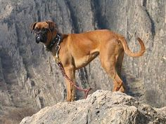 Jessica the Boxer standing on a rock with a leash on and a rock cliff in the background