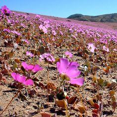 Desierto Florido / Flowering Desert (Vallenar-Chile)