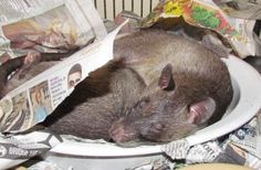 Gambian Pouched Rats sleeping.....Ayisa and Hercules