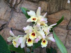 Orquídea - Dendrobiun ❤️