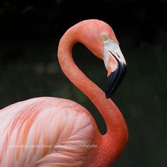 This beautiful close up of a Pink Flamingos will add a tropical touch to any indoor room decor as well as your patio, pool cabana or tiki bar. TITLE: Pink Flamingos with Water Reflection MEDIUM: Photography fine art print (unframed) AVAILABLE SIZES: Tropical House Design, Tropical Home Decor, Tropical Houses, Tropical Birds, Colorful Birds, Flamingo Photo, Flamingo Print, Tropical Furniture, Tropical Pattern