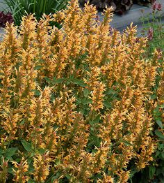 """Agastache 'Kudo's Gold' An exciting new hybrid, more compact than standard agastache, commonly called hyssop or hummingbird mint. It  produces wave after wave of bright yellow flowers; it's a delightful new color for the genus, and is also highly attractive to bees and butterflies. Conditions: full sun, and well-drained average to dry soil. Size: 24"""" tall and wide Zones: 5-10"""