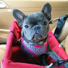The major breeds of bulldogs are English bulldog, American bulldog, and French bulldog. The bulldog has a broad shoulder which matches with the head. Pied French Bulldog, Blue French Bulldog Puppies, French Bulldog Facts, Cute French Bulldog, French Bulldogs, I Love Dogs, Cute Dogs, Puppy Backgrounds, Small Dog Accessories