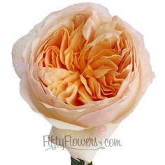 must find thisin a plant for the yard --- SOOO BEAUTIFUL!FiftyFlowers.com - Peony Garden Rose Peach Juliet Ausgameson