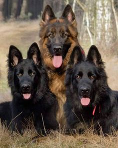 The many things I respect about the devoted German Shepherd Dog German Shepherd Training, German Shepherd Facts, Belgian Shepherd, Shepherd Dogs, German Sheperd Dogs, German Shepherds, Poodle Drawing, Long Haired German Shepherd, Cute Funny Dogs