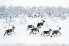 Animal Totem Gallery: Arctic/Tundra Totems: Reindeer