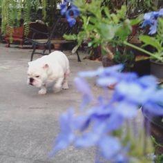 #harleybulldog #dogwalk #englishbulldog #bulldog #bully #cutedogs #instagram #instadog #dogworld #mydogs  by arthon_s1  http://bit.ly/teacupdogshq