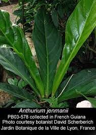 anthurium jenmanii - Google Search Room With Plants, Types Of Plants, Plant Rooms, Tropical Garden, Tropical Plants, Philodendron Monstera, Rainforest Plants, Flamingo Flower, House Plant Care