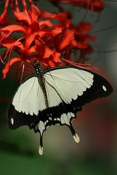 White Butterfly - Red Flower