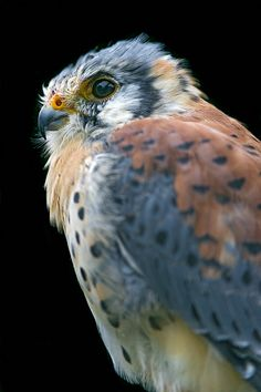 Profile of a nice falcon by Tambako the Jaguar, via Flickr