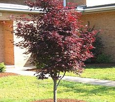 tips for Plantings Trees in Summer--for Cadettes earning their Trees badge.