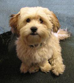 Yorkie Bichon (Bichon Frise, Yorkshire Terrier mix), Info, Pictures