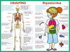 iskelet sistemi ve organlarımız posteri