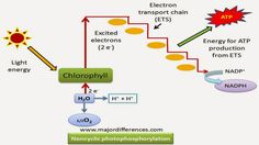 Difference Between Cyclic and Non Cyclic Photophosphorylation | Major Differences