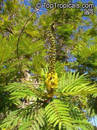 Peltophorum africanum, African Wattle, Weeping Wattle  Click to see full-size image