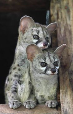 Genets // photo via the African Conservation Experience