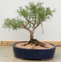 rosemary bonsai | Rosemary Bonsai (will get purple/blue flowers)