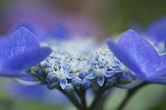 hydrangea macro | Flickr - Photo Sharing!