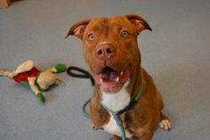 Layla - located at ISLIP ANIMAL SHELTER AND ADOPT-A-PET CENTER in Bay Shore, NY - 1 year old Female Boxer mix - She is a big goofy girl with lots of energy. She's good with other dogs and cats but would do best in a home with kids 12 and up.