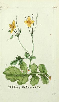 gravures flore Paris - gravures flore de Paris - chelidoine a feuilles de chene - chelidonium majus quernum eclaire herbe de l hirondelle fe...