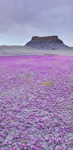 Mojave Desert - carpeted in wildflowers