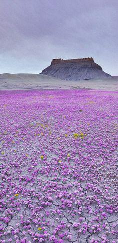 Désert des Mojaves - moquette dans les fleurs sauvages