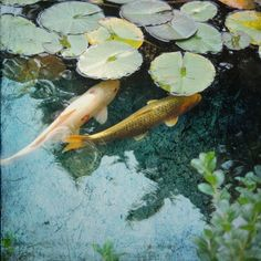 Items similar to Fine art photography. Fish with Fancy Hats on Etsy Pond Lights, Betta Fish Types, Koi Art, Gold Wall Art, Pond Life, Koi Fish Pond, Insect Art, Seen, Beautiful Fish