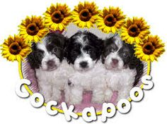 cock a poo dogs & puppies - Google Search