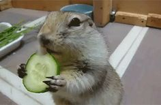 squirrel-eating-cucumber.gif (300×197)