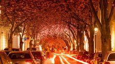 Cherry Blossoms In Bonn