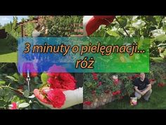 Jak dbać o róże w ogrodzie? Sposób na długie i obfite kwitnienie! Sad, Gardening, Youtube, Flowers, Lawn And Garden, Youtubers, Youtube Movies, Horticulture